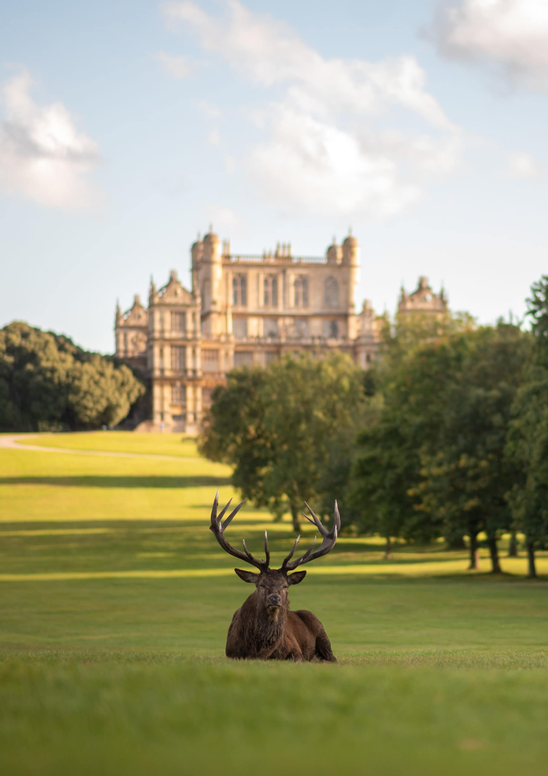 A deer enjoyin the afternoon sunshine outside Wollaton Hall, Nottingham